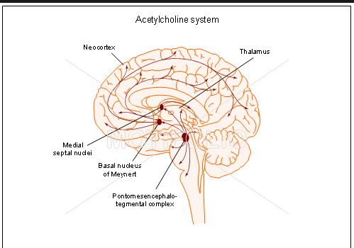 The phd brain acetylcholine php neurotransmitter computer language cells that respond to acetylcholine exist throughout your brain in the basal forebrain in the lower front portion cholinergic cells ccuart Image collections